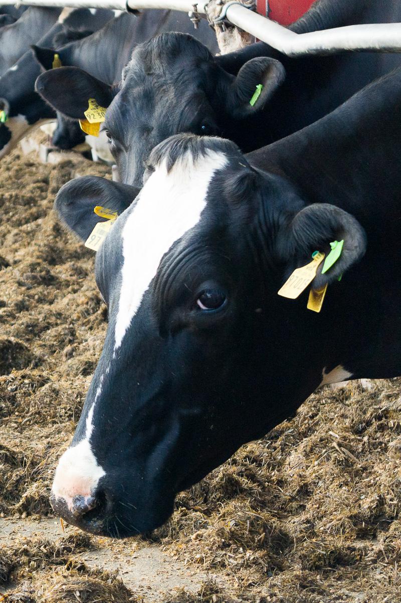 Wieso trinken Veganer keine Milch? In diesem Beitrag betrachten wir den Milchkonsum ethisch und beschreiben das Leben einer modernen Milchkuh. Klick dich zum Beitrag und informiere dich!